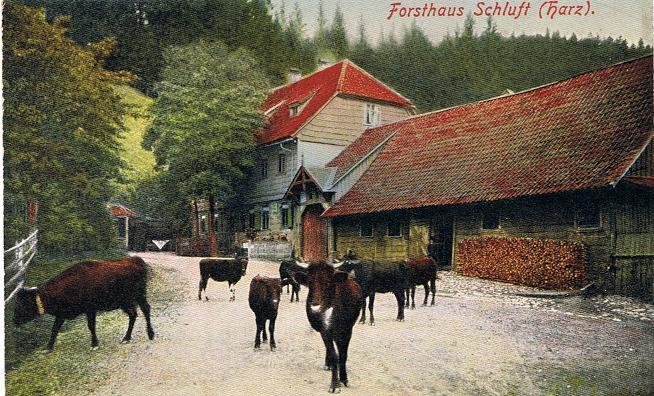 Forsthaus Schluft Kühe